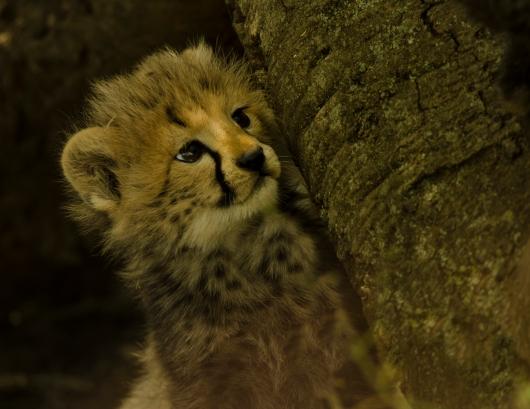 baby cheetah_1.jpg